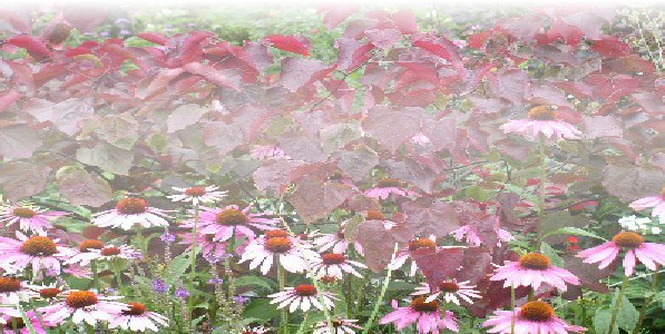 cercis Forest Pansy with echinacea.jpg